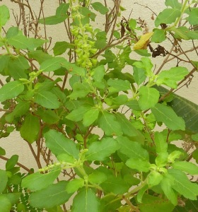 Tulsi, poudre tulsi, poudres indiennes, poudre indienne